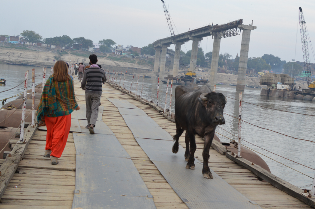 varanasi-bridge-cow
